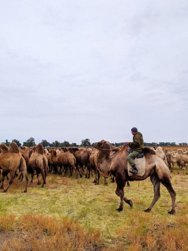 Kamele am Wolgadelta